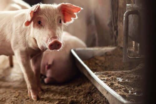Crises atuais na saúde animal: o problema da peste suína africana