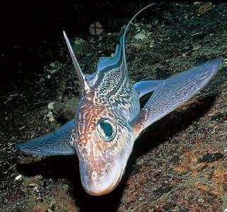 Peixes estranhos: a quimera das profundezas