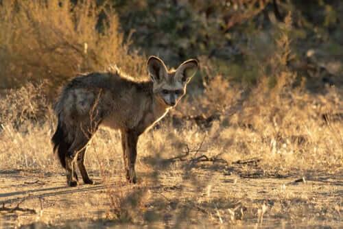A raposa-orelhas-de-morcego