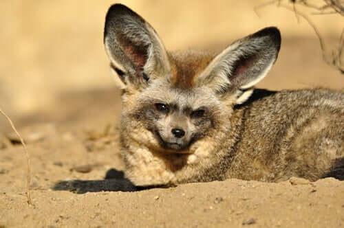A raposa-orelhas-de-morcego: suas técnicas de caça
