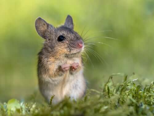 As conversas dos ratos cantores