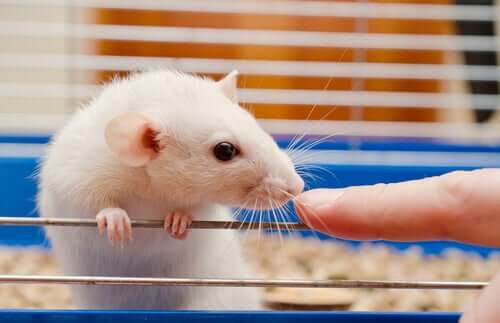 Atualizações sobre os cuidados com os ratos de laboratório