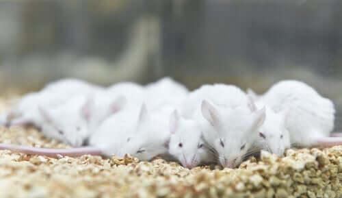 Cuidando dos ratos de laboratório
