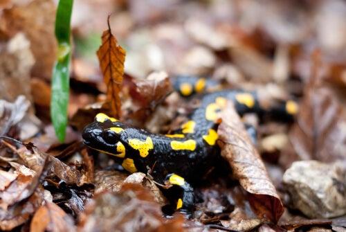 Mecanismos de defesa da salamandra pintada