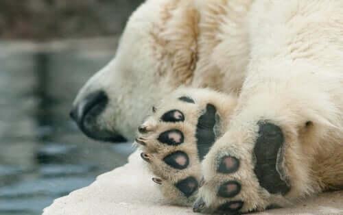 A saúde do urso polar