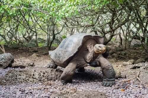 A tartaruga gigante das Ilhas Galápagos