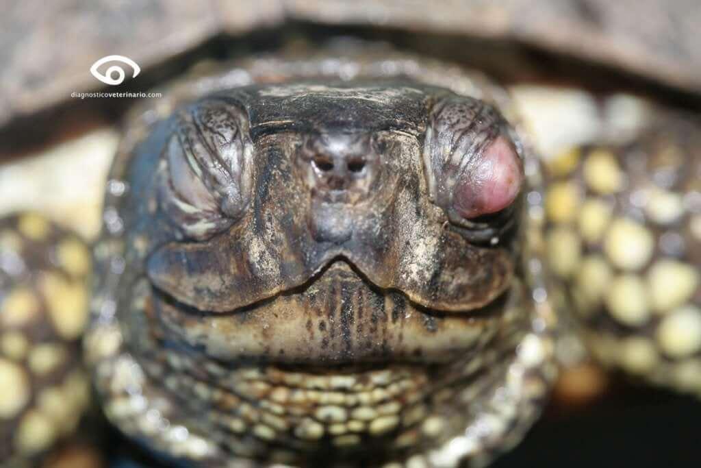 problemas de saúde mais comuns em tartarugas domésticas