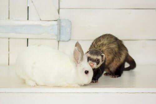 Como ocorre a troca de pelos em coelhos e furões?