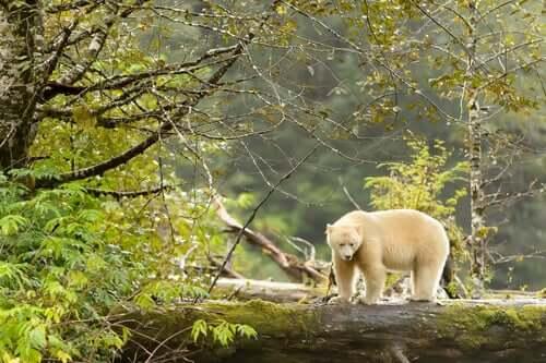 Urso de kermode, o espírito da floresta