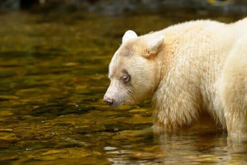 Urso de kermode caçando salmão