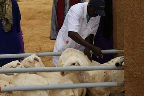 Zooveca diazinon para o tratamento antiparasitário em ovelhas.