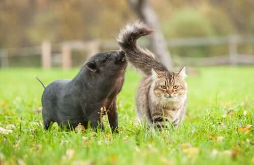 Síndrome gato-porco