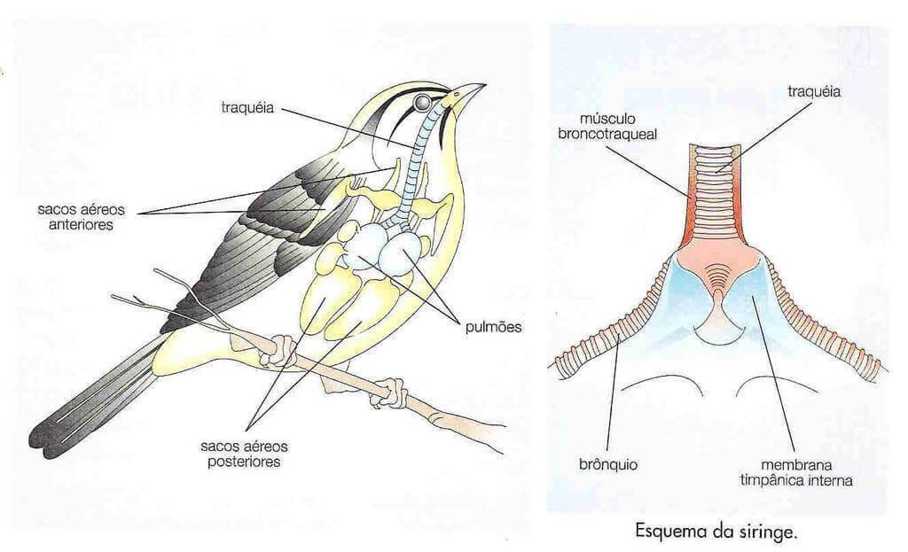 Aprenda a identificar o canto das aves em casa