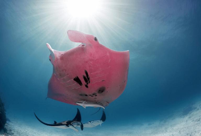 A arraia-jamanta cor-de-rosa da Grande Barreira de Corais