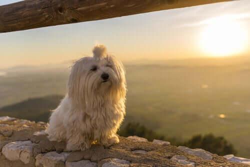 Maltês: a raça de cachorro mais limpa