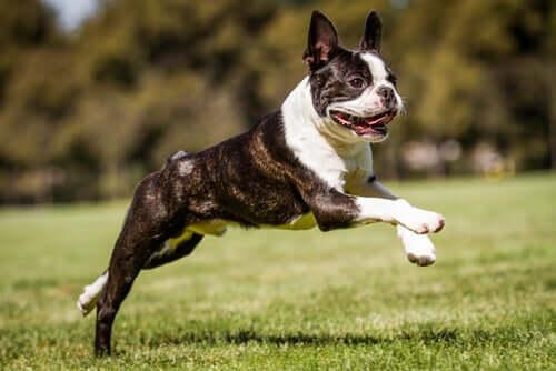 Boston terrier: uma das raças de cachorro mais limpas