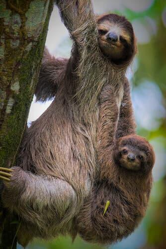 A preguiça-de-garganta-marrom e três dedos