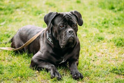 Cane corso: excelente cão de guarda e de companhia