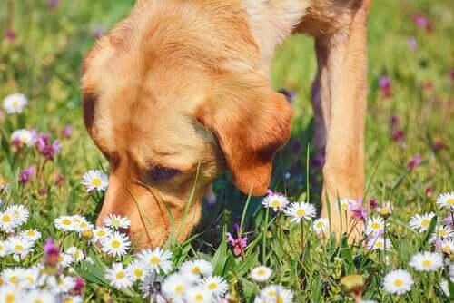 Camomila, uma planta medicinal para os animais de estimação