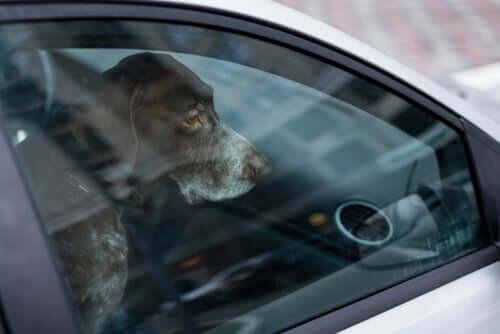 Deixar animais de estimação dentro de carros pode ser fatal