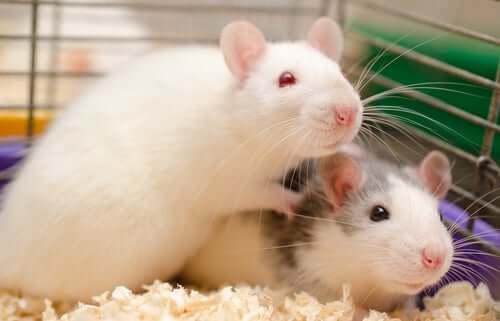 Como é possível saber se os ratos evitam machucar seus congêneres?