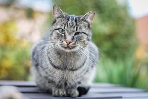 Cinomose em gatos