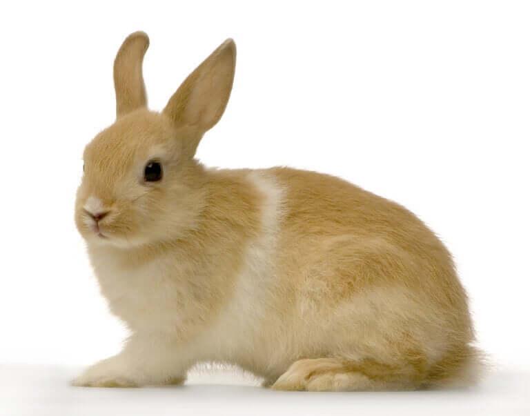 Síndrome vestibular em coelhos: do que se trata?