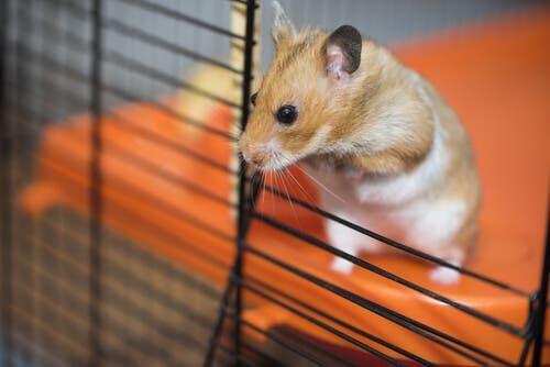 dicas para limpar a gaiola de um hamster