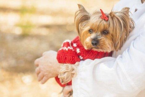 Yorkshire terrier: uma das raças de cachorro mais limpas