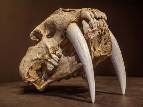 O tigre dentes-de-sabre: o felino mais temível