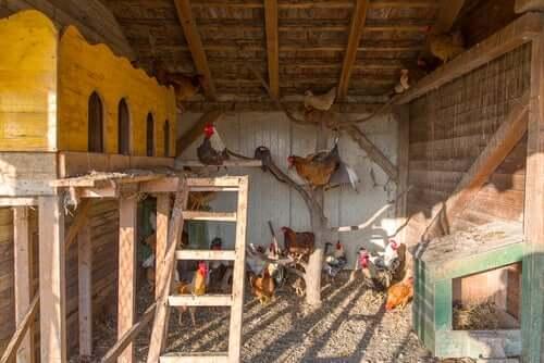 5 dicas para escolher o galinheiro perfeito para suas galinhas