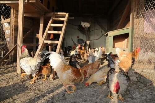 Como escolher o galinheiro perfeito para suas galinhas?