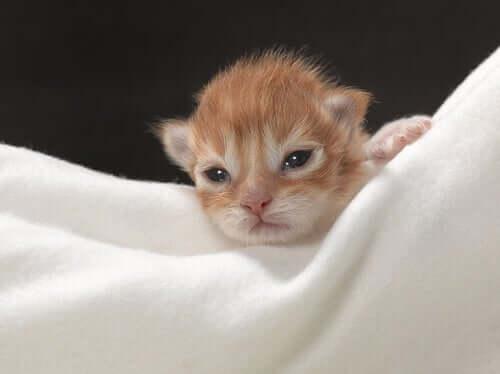 Como cuidar de um gatinho recém-nascido?
