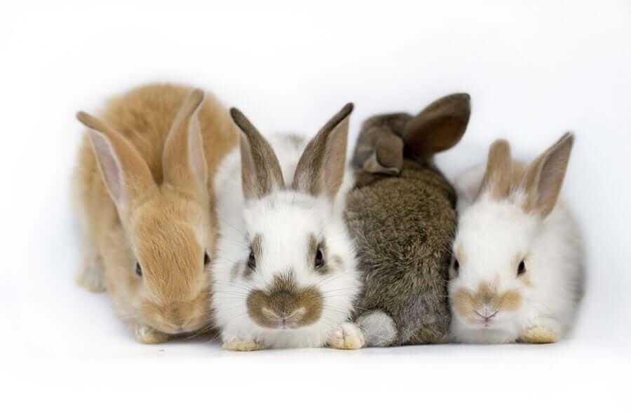 Síndrome vestibular em coelhos: o que é isso?