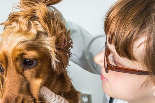 Hematoma na orelha em cães e gatos