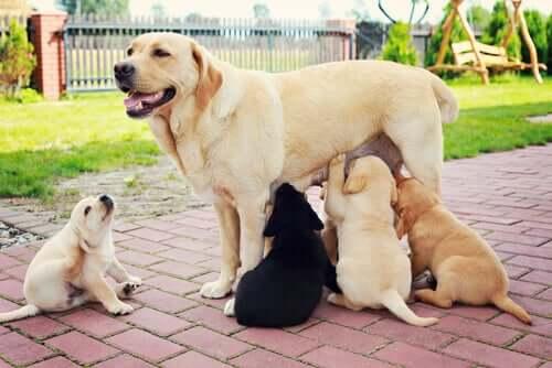 A amamentação em cães é fundamental para neutralizar micro-organismos patogênicos