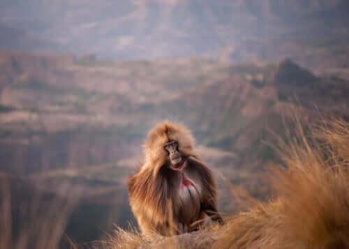 Os macacos-de-coração-em-sangue