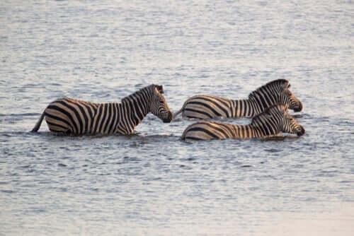 A zebra-da-planície: características e habitat