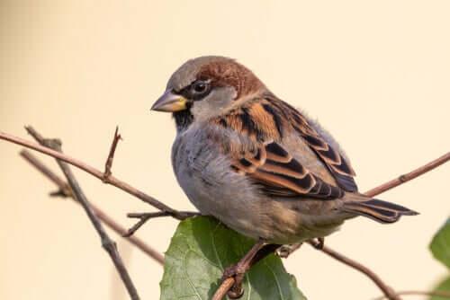 O pardal-doméstico na Espanha: em perigo de extinção?