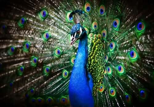 O pavão e sua majestosa cauda