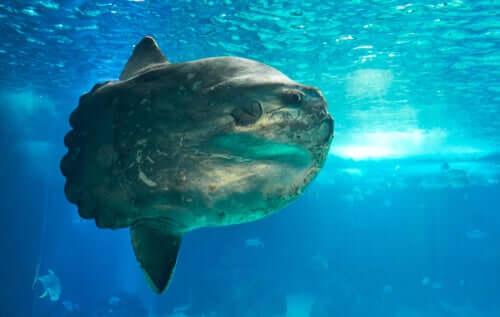 O peixe-lua, o peixe mais pesado do mundo
