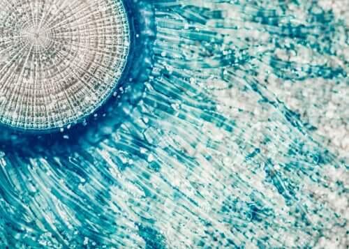 Porpita porpita, a água-viva botão azul