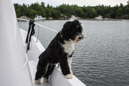 Cão d'água português no navio