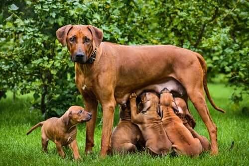 Fatos importantes sobre a amamentação em cães