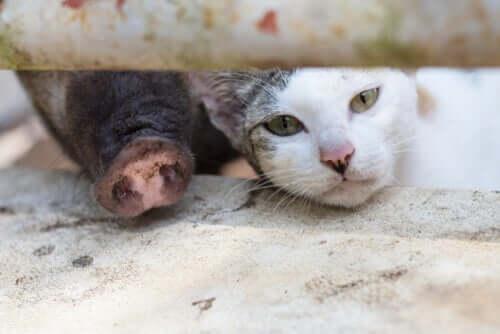 Síndrome gato-porco: o que é essa alergia