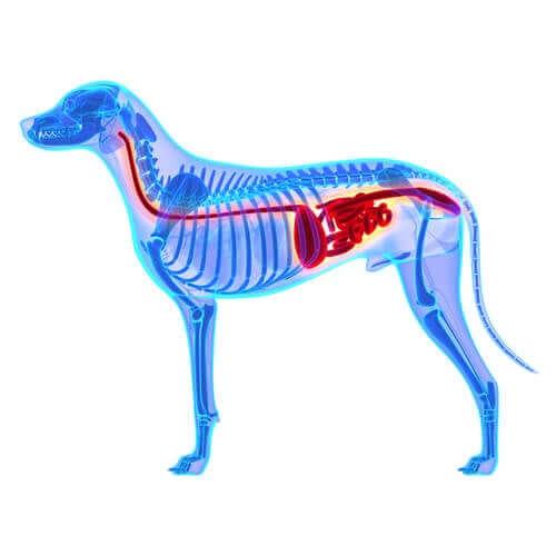 A microbiota intestinal canina