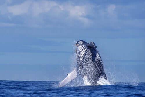 Classificação e identificação dos cetáceos: as baleias de basbas laminadas