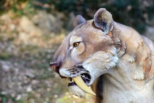 O tigre dentes-de-sabre