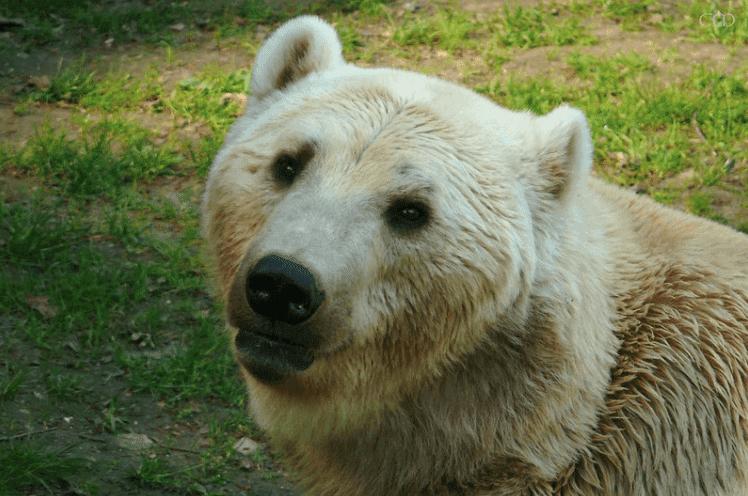 Hibridização em animais: o caso do grolar