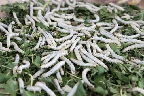 Folhas de amoreira como alimentação